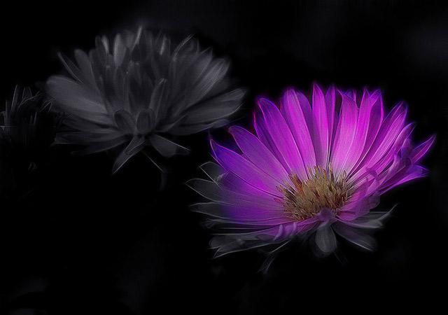 grossaufnahme-von-zwei-blumen-digital-bearbeitet-halb-schwarzweiss-und-farbig