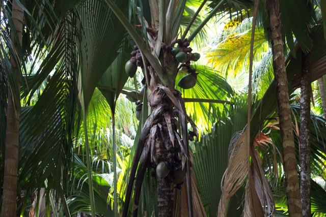 die-beruehmte-kokospalme-coco-de-mer