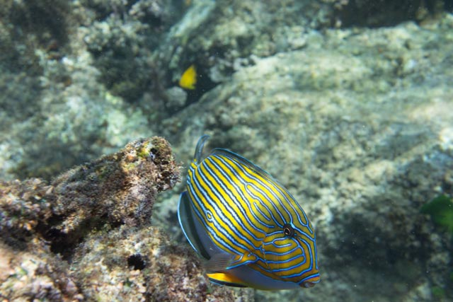 ein-blaustreifen-doktorfisch-im-indischen-ozean