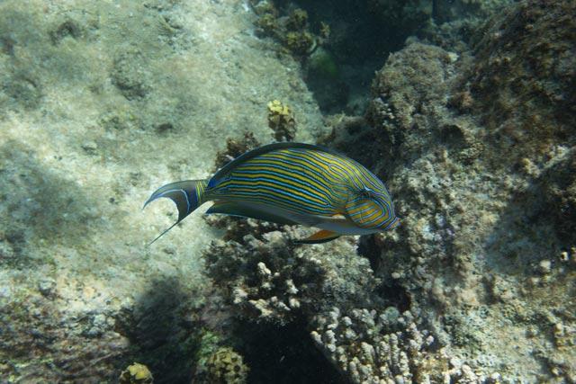 ein-blaustreifen-doktorfisch