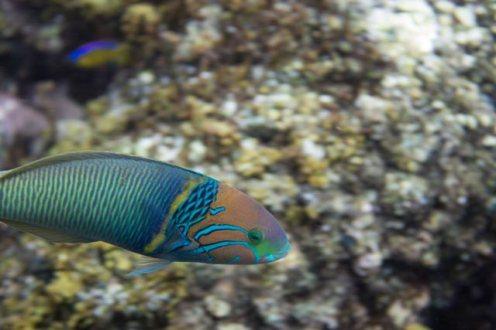 ein-bunter-tropischer-papageienfisch