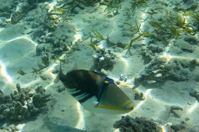 eine-grossaufnahme-von-einem-picasso-drueckerfisch