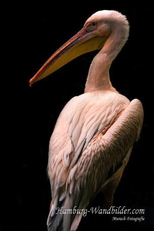 eine-grossaufnahme-von-einem-pelikan-von-hinten-mit-schwarzen-hintergrund-hamburg-wandbilder