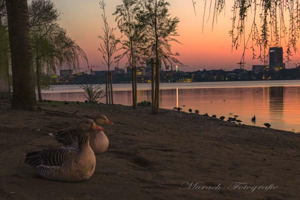zwei-wildgaense-am-alsterufer-im-sonnenuntergang