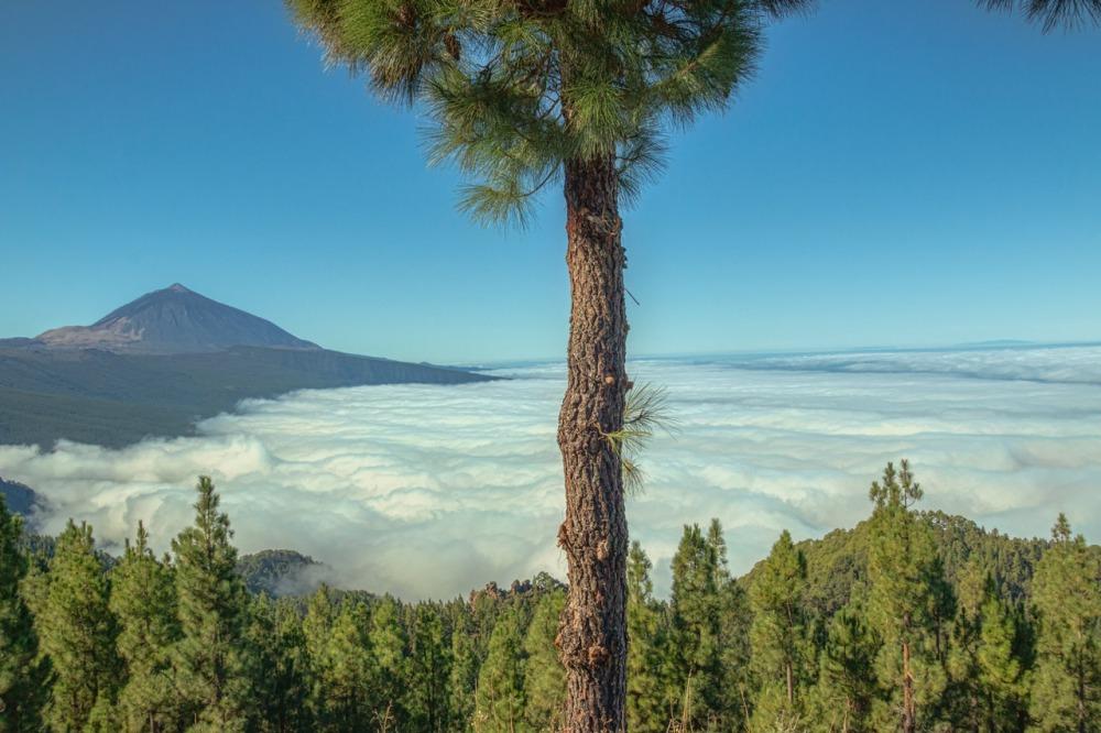 ein-kieferwald-in-den-bergen-teneriffa--murach-fotografie